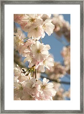 Cherry Blossom (prunus 'accolade') Framed Print by Adrian Thomas