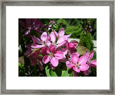 Cherry Blossoms Framed Print by Claude McCoy