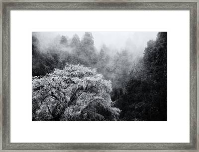 Cherry Blossoms Framed Print by Copyrights(c) All rights reserved by Haruhisa Yamaguchi