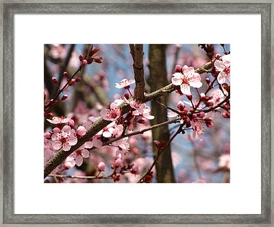 Cherry Blossoms Framed Print by Denise Keegan Frawley