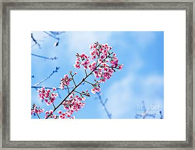 Cherry Blossoms Sakura Framed Print by Chaloemphan Prasomphet