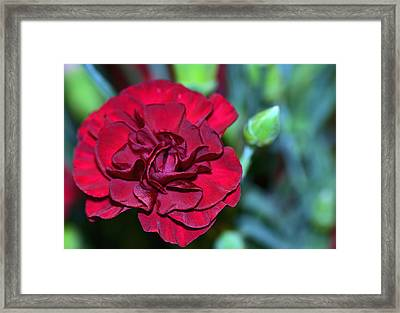 Cherry Red Carnation Framed Print by Sandi OReilly