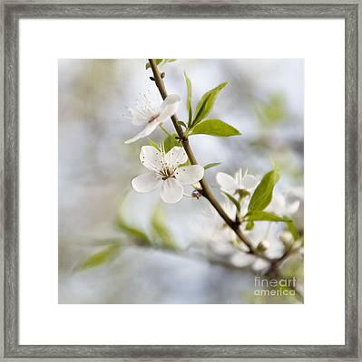 Cherry Tree Blossom Framed Print