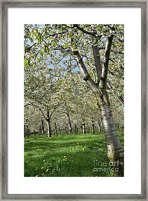 Cherry Tree Colors1 Framed Print by Bruno Santoro