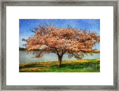 Cherry Tree Framed Print by Lois Bryan