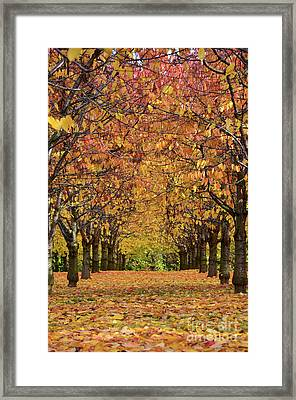Cherry Tree Plantation Framed Print by Bruno Santoro