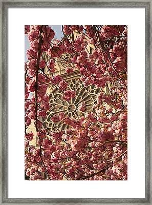 Cherry Trees In Bloom Near Notre Dame Cathedral Framed Print