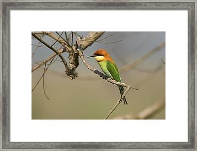 Chestnut-headed Bee-eater (merops Leschenaulti) Framed Print by Nicholas Reuss