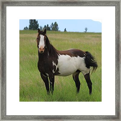 Chestnut Overo Paint Stallion Framed Print