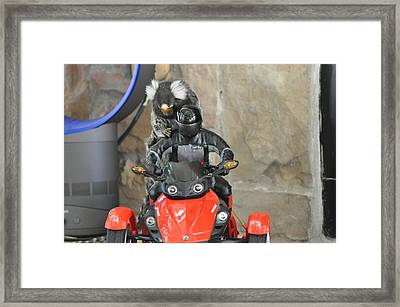 Chewy The Marmoset Riding Framed Print by Barry R Jones Jr