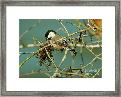 Chick-a-dee Framed Print by Rod Wiens