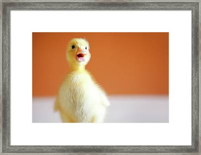 Chick Framed Print by Baobao Ou