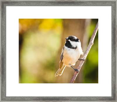 Chickadee Framed Print by Cheryl Baxter