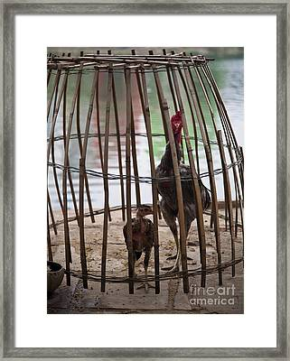 Chickens In Bamboo Cage Framed Print by David Buffington