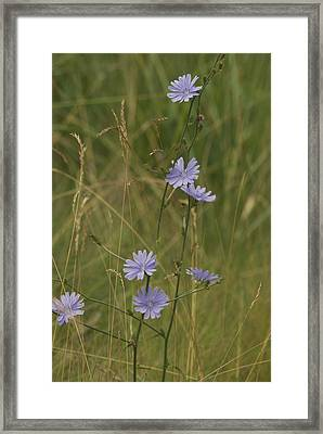 Chicory 2765 Framed Print