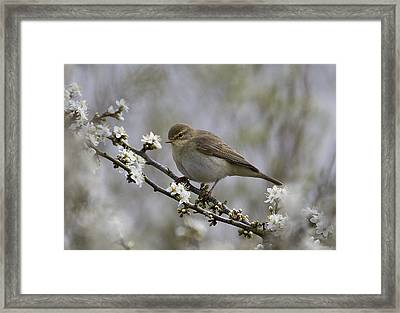 Chiff Chaff On Blackthorn Blossom Framed Print