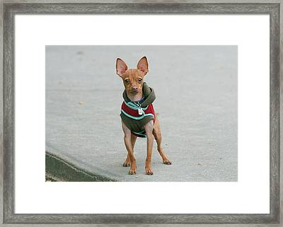 Chihuahua In A Sweater Framed Print by Ritmo Boxer Designs