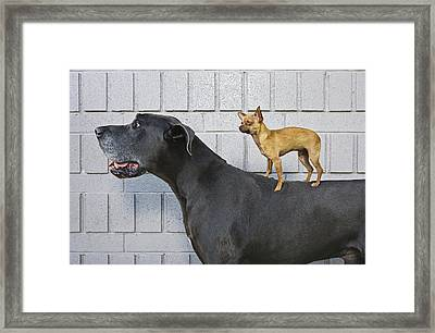 Chihuahua On Great Dane's Back Framed Print by Brand X Pictures