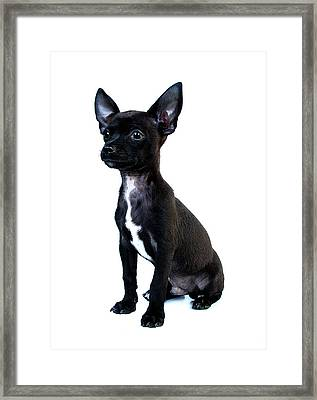 Chihuahua Puppy Framed Print by Hapa