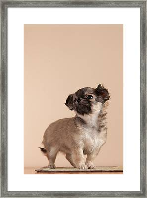 Chihuahua Puppy Framed Print by Peregontsev.com
