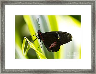 Chili  Framed Print by Leslie Leda