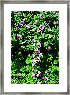 China Rose Framed Print