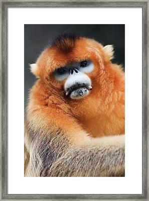 China, Shaanxi Province, Golden Monkey (rhinopithecus Roxellana ) Framed Print by Jeremy Woodhouse