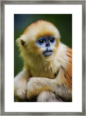 China, Shaanxi Province, Young Golden Monkey (rhinopithecus Roxellana) Framed Print by Jeremy Woodhouse