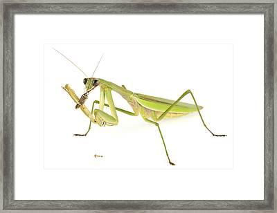 Chinese Mantis Feeding On Prey Framed Print by Piotr Naskrecki