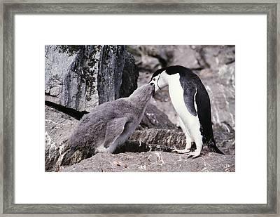 Chinstrap Penguin Feeding Chick Framed Print by Doug Allan