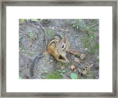 Chipmunk Feast Framed Print