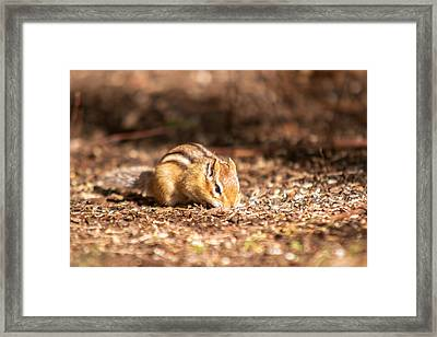 Framed Print featuring the photograph Chipmunk by Josef Pittner