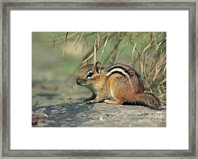 Chipmunk On A Warm Summer Evening Framed Print by Inspired Nature Photography Fine Art Photography