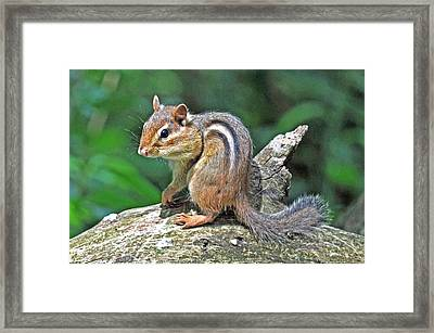 Framed Print featuring the photograph Chipmunk by Rodney Campbell