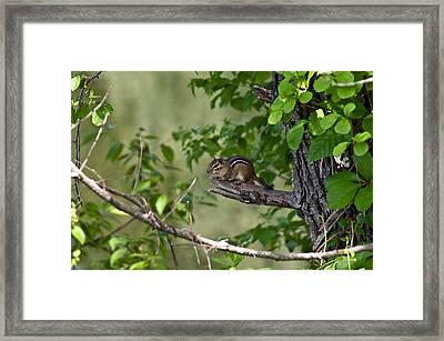 Chipmunk Framed Print by Ron Smith