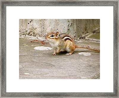 Chipmunk Scurry Framed Print