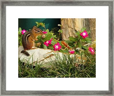 Chipper Chipmunk Framed Print by Andrew McInnes