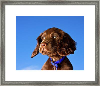 Chocolate Brown Cocker Spaniel Puppy Framed Print by Andrew Davies