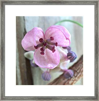 Chocolate Vine Young Bloom Macro Framed Print by Padre Art