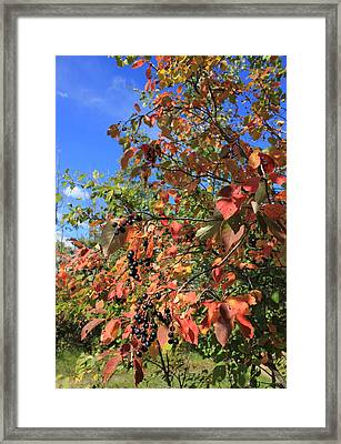 Chokecherry Tree Framed Print by Jim Sauchyn
