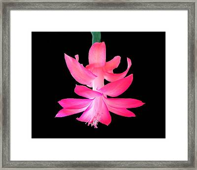 Framed Print featuring the photograph Christmas Cactus by Steven Clipperton