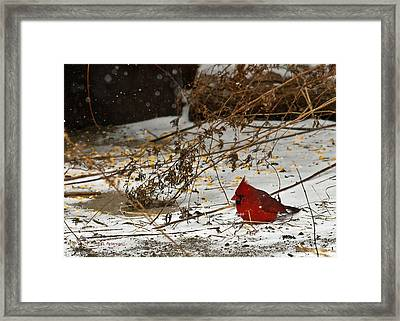 Framed Print featuring the photograph Christmas Cardinalthe  by Edward Peterson