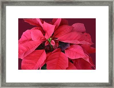 Christmas Flower Framed Print by Linda Phelps