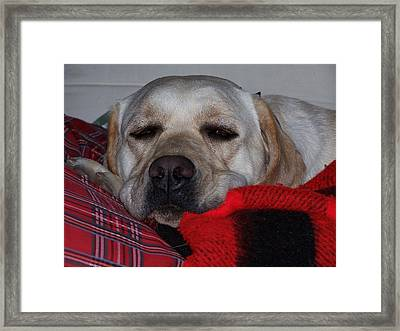 Christmas Lab Framed Print