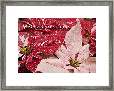 Christmas Poinsettias Framed Print by Michael Peychich