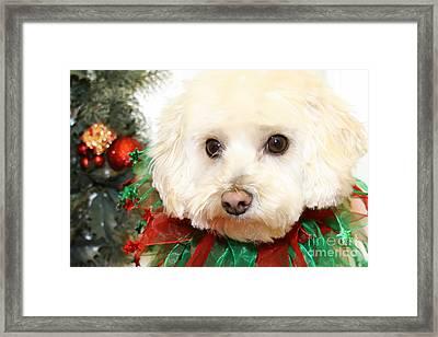 Christmas Portraits - Maltipoo Framed Print by Renae Crevalle