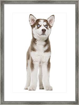 Christmas Puppy Framed Print by Chris Stein
