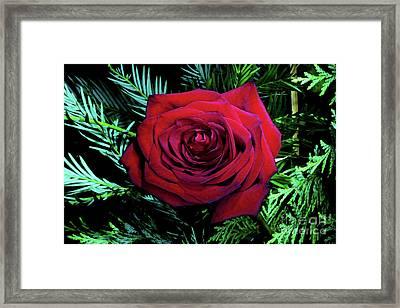 Christmas Rose Framed Print by Mariola Bitner
