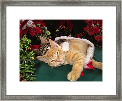 Christmas Time W Two Cats Together - Baby Maine Coon Kitty Cuddling With Smug Orange Tabby Kitten Framed Print by Chantal PhotoPix