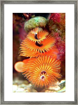Christmas Tree Worm Framed Print